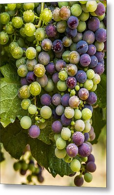 Red Wine Grapes Hanging On The Vine Metal Print
