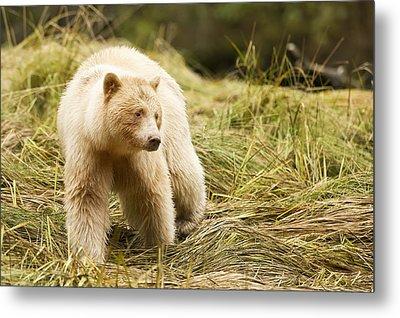 The Kermode Bear  Ursus Americanus Metal Print by Daisy Gilardini