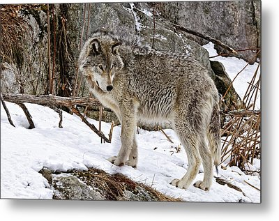 Metal Print featuring the photograph Timber Wolf In Winter by Michael Cummings