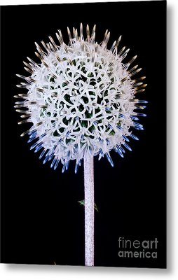 White Alium Onion Flower Metal Print by Colin Rayner