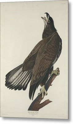 White Headed Eagle Metal Print by Rob Dreyer