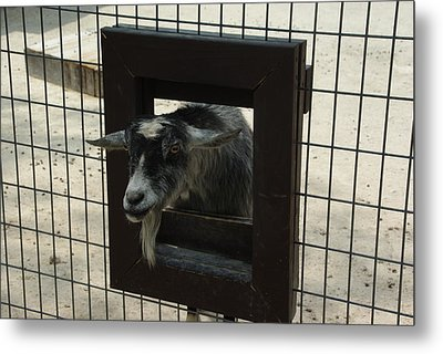 3d Tv Goat 1 Metal Print by Robyn Stacey