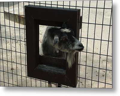 3d Tv Goat 2 Metal Print by Robyn Stacey