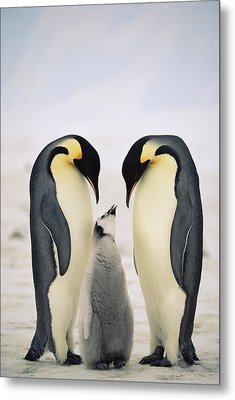 Emperor Penguin Family Metal Print by Konrad Wothe