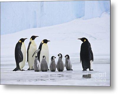 Emperor Penguins And Chicks Metal Print by Jean-Louis Klein & Marie-Luce Hubert