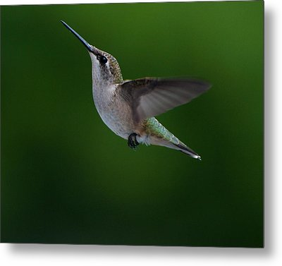 Female Ruby Throated Hummingbird Metal Print by Brenda Jacobs