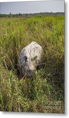 Indian Rhinoceros, India Metal Print by B. G. Thomson