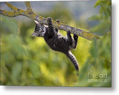Kitten In A Tree Metal Print
