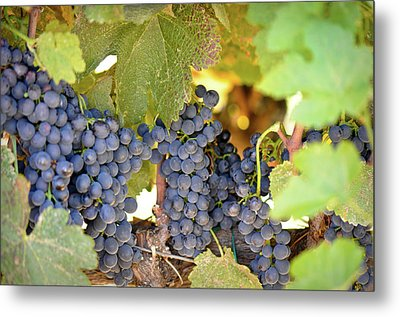 Red Grapes Metal Print by Brandon Bourdages
