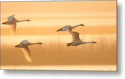 Metal Print featuring the photograph 4 Swans by Kelly Marquardt