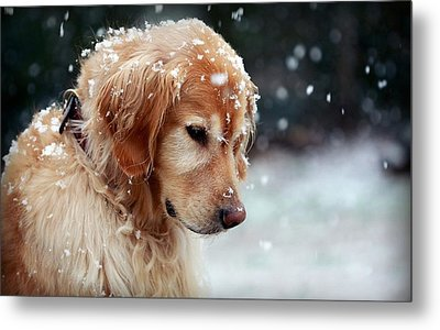 41855 Dog Golden Retriever In Snow Metal Print by F S