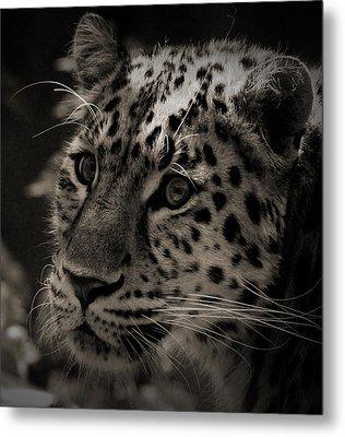 Amur Leopard Metal Print by Martin Newman
