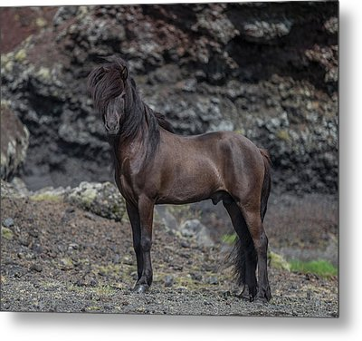 Icelandic Black Stallion, Iceland Metal Print by Panoramic Images