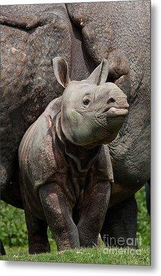 Indian Rhinoceros Rhinoceros Unicornis Metal Print by Gerard Lacz