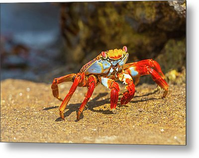 Sally Lightfoot Crab On Galapagos Islands Metal Print