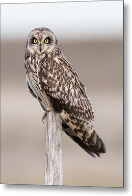 Short Eared Owl Metal Print by Ian Hufton