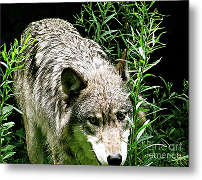 Metal Print featuring the photograph The Wild Wolve Group A by Debra     Vatalaro