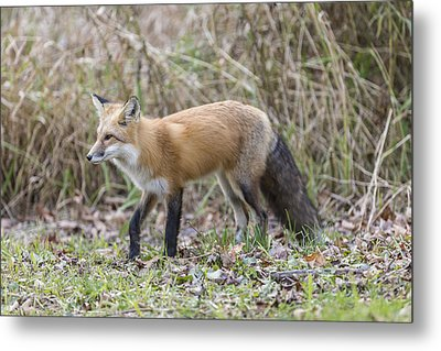 Wild Red Fox In The Wild Metal Print