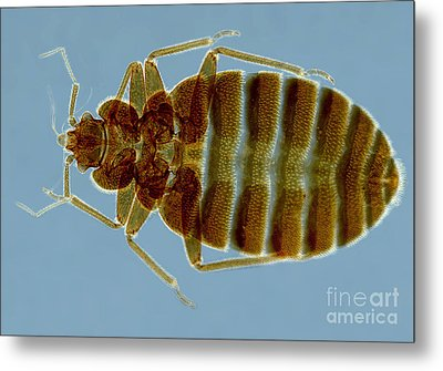 Bedbug, Cimex Lectularius, Sem Metal Print