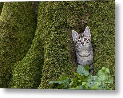 Kitten In A Mossy Tree Metal Print by Jean-Louis Klein & Marie-Luce Hubert