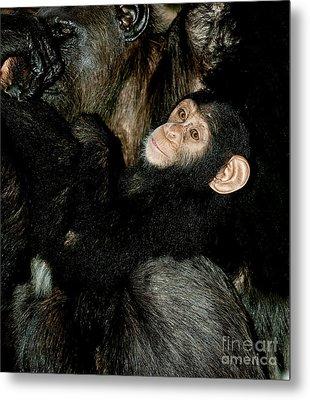 Chimpanzee Pan Troglodytes Metal Print by Gerard Lacz