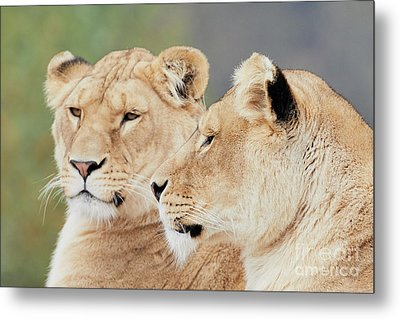 Two Lions Close Together Metal Print by Nick Biemans