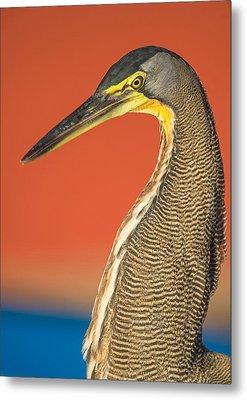 Bare-throated Tiger Heron Tigrisoma Metal Print