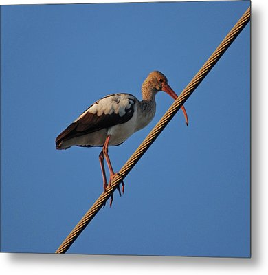 Metal Print featuring the photograph 8- Brown Ibis by Joseph Keane