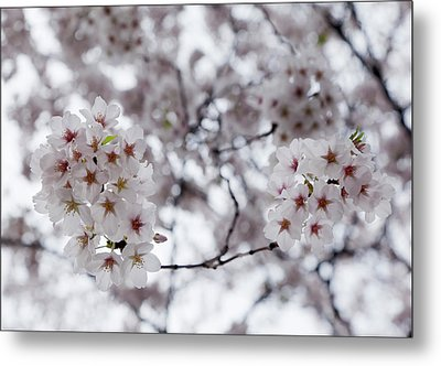 Cherry Blossoms Metal Print by Robert Ullmann