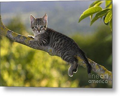 Kitten In A Tree Metal Print by Jean-Louis Klein & Marie-Luce Hubert