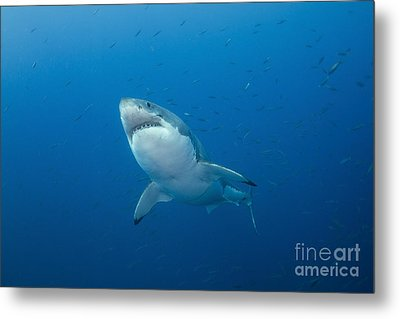 Male Great White Shark, Guadalupe Metal Print by Todd Winner