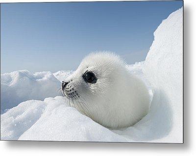 Whitecoat Harp Seal Pup Metal Print by Daisy Gilardini