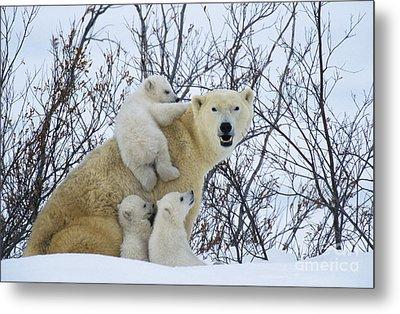 Polar Bear And Cubs Metal Print