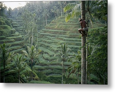 A Bahasa, Or Coconut Tree Climber Metal Print by Justin Guariglia