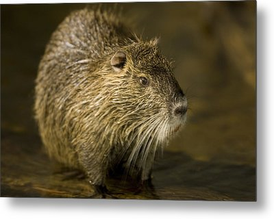 A Beaver From The Omaha Zoo Metal Print by Joel Sartore