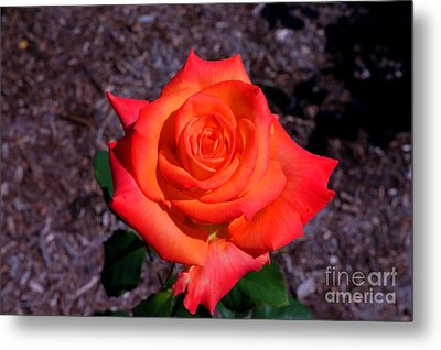 Metal Print featuring the photograph A Burst Of Sunny Beauty. by David Bishop