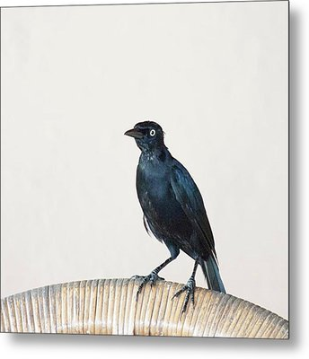 A Carib Grackle (quiscalus Lugubris) On Metal Print by John Edwards