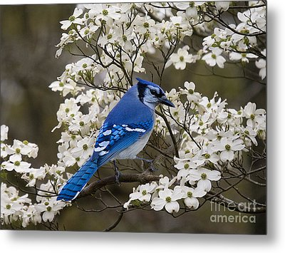 A Chatty Bluejay Metal Print by J Cheyenne Howell