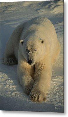 A Close View Of A Polar Bear Resting Metal Print by Tom Murphy
