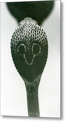 A Cobra With Raised Head And Flared Hood  Metal Print
