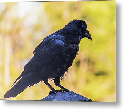 Metal Print featuring the photograph A Crow Looks Away by Jonny D