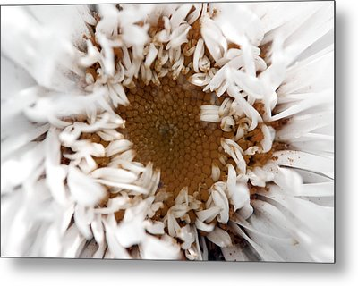 A Daisy Metal Print by Bransen Devey