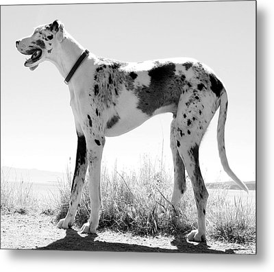A Dog Named Picasso Metal Print by Robert Knight