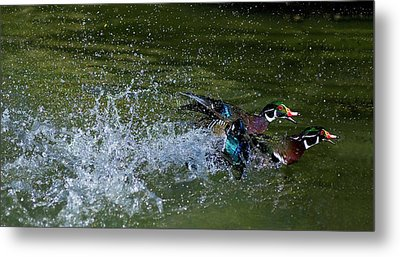 Metal Print featuring the photograph A Duck Race by Thanh Thuy Nguyen