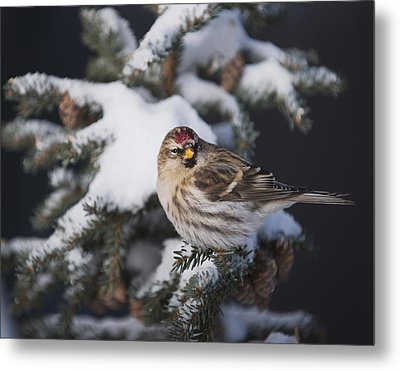 A Female Common Redpoll  Carduelis Metal Print by Greg Martin