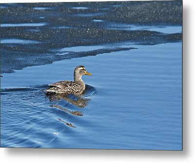Metal Print featuring the photograph A Female Mallard In Thunder Bay by Michael Peychich