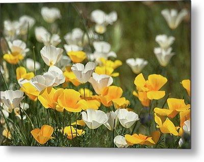 Metal Print featuring the photograph A Field Of Golden And White Poppies  by Saija Lehtonen