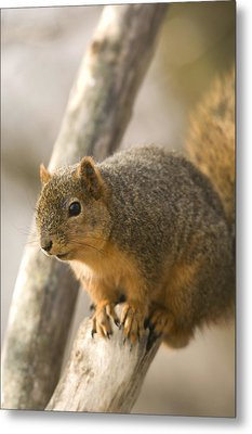 A Fox Squirrel Sciurus Niger Perches Metal Print by Joel Sartore