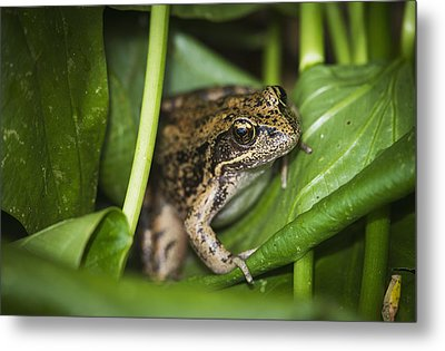 A Frog Perches On Wapato Leaves Metal Print by Robert L. Potts