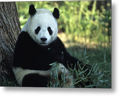 A Giant Panda Eating Bamboo Metal Print by Taylor S. Kennedy